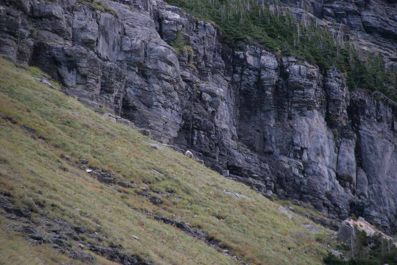 Bighorn sheep way up high on the mountain as we waited for flaggers to let us through to Logan Pass