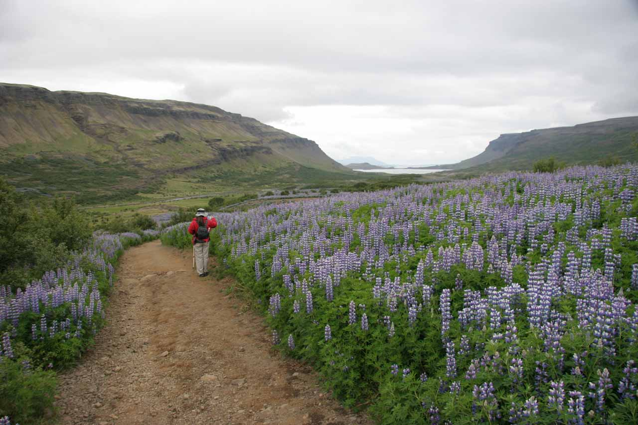 Julie passing through a field of wildflowers blooming before Hvalfjörður as we were close to the trailhead