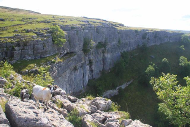 Gordale_Scar_130_08192014 - Sharing the sheer dropoffs of the Malham Cove with this sheep that managed to make it up here with me