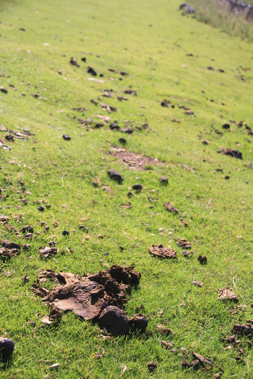 Walking in the sheep pastures meant trying to avoid the plethora of sheep dung
