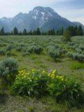 Grand_Tetons_033_06252004 - Wildflowers before the Tetons
