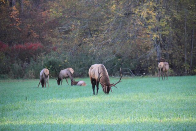 Great_Smoky_Mountains_006_20121020 - Further to the west of the Graveyard Fields was the Great Smoky Mountains National Park, where we saw this herd of elk by the Oconaluftee Visitor Center