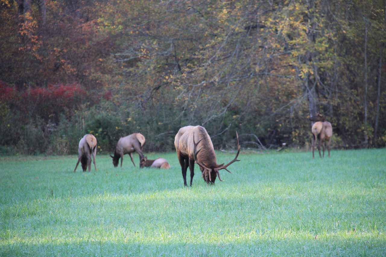 A herd of elk in the Great Smoky Mountains