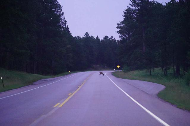 Grizzly_Bear_Falls_002_07302020 - Driving on the state highway 244 when I encountered deer on the road as I headed towards Mt Rushmore and the Blackberry Trailhead early in the morning