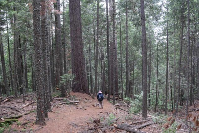 Grouse_Falls_011_05202016 - Mom descending amongst a grove of tall trees as we made our way downhill to the Grouse Falls Overlook
