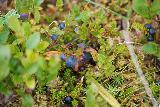 Grundarfoss_056_08172021 - Closeup look at some wild huckleberries or blueberries on the trail leading up to Grundarfoss