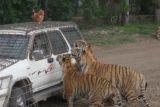 Haerbin_011_05112009 - Tigers looking for chicken dinner