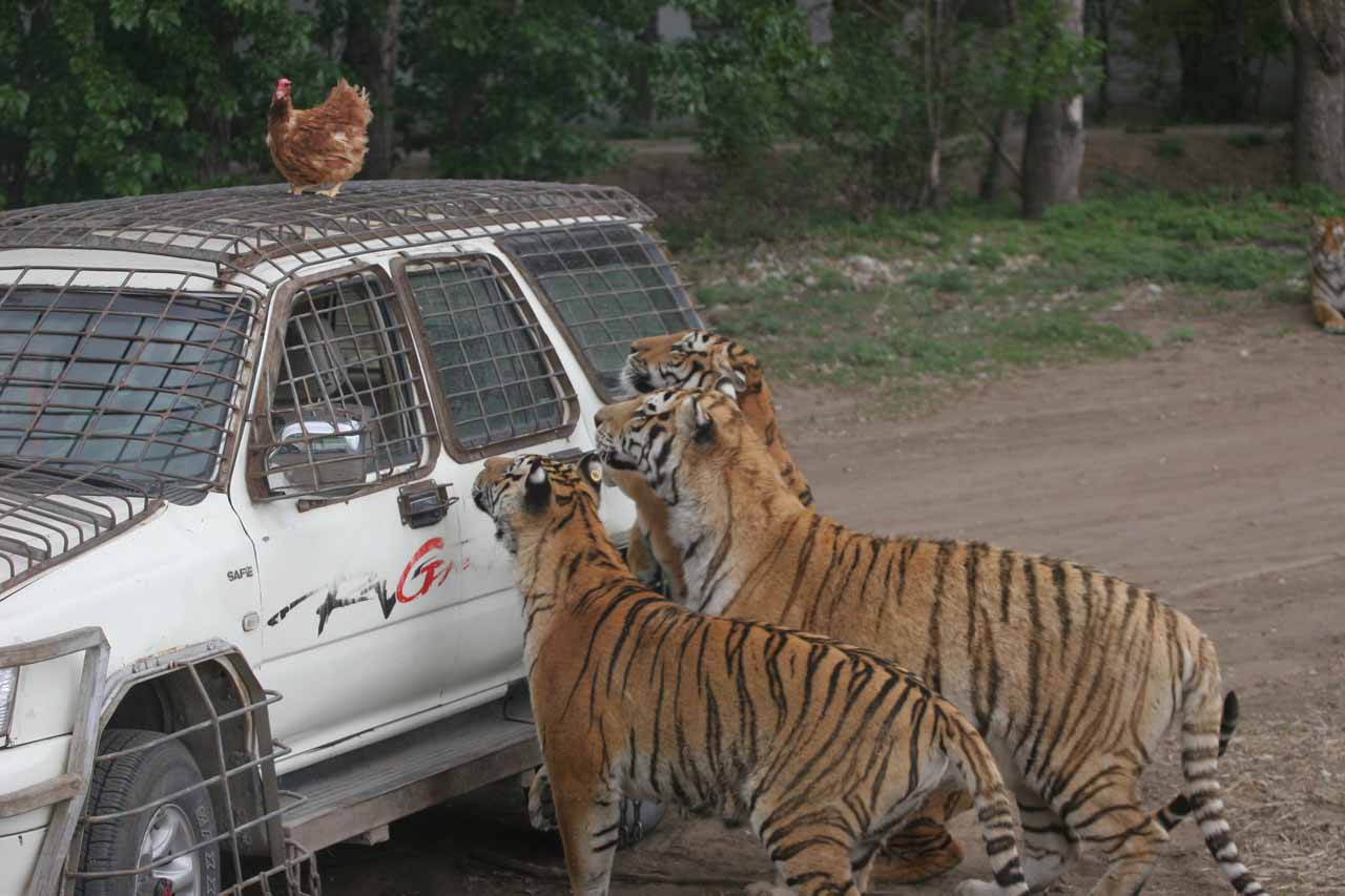 Tigers looking for chicken dinner