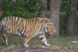 Haerbin_014_05112009 - A tiger that got the chicken