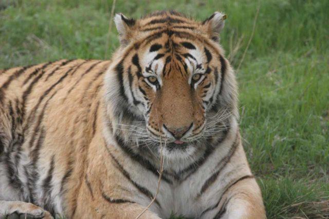 Haerbin_024_05112009 - Looking right at a Siberian Tiger