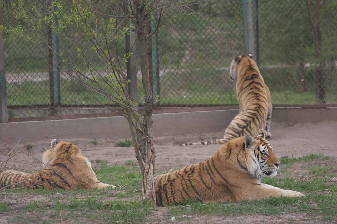 Haerbin was also the city where we got to see captive Siberian Tigers