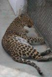 Haerbin_065_05112009 - Some kind of leopard