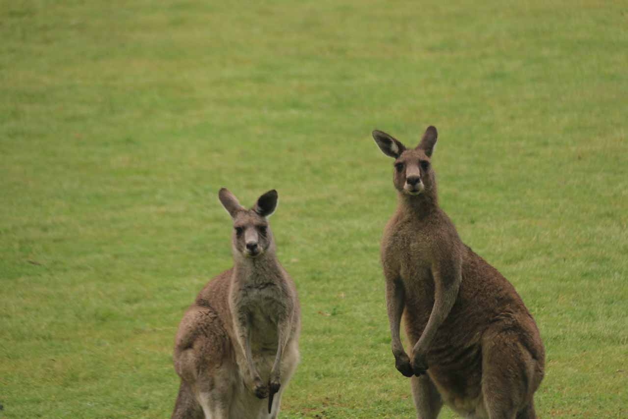 A pair of kangaroos wondering what I was doing as I was cutting across from Warren Rd to the Clematis Falls Track