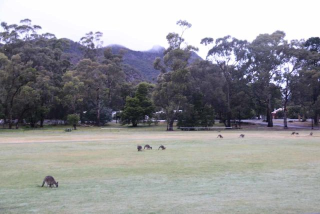 Halls_Gap_122_11152017 - There were lots of kangaroos grazing on the Halls Gap Recreation Oval near where we were staying at when I did the Beehive Falls excursion