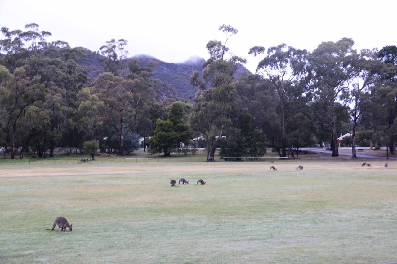 There were lots of kangaroos grazing on the Halls Gap Recreation Oval near where we were staying at when I did the Beehive Falls excursion