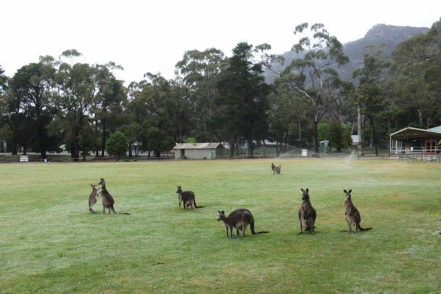 Halls_Gap_137_11152017 - Staying in one of the accommodations in Halls Gap yielded some unexpected benefits like seeing these kangaroos happily grazing at the Halls Gap Recreation Oval