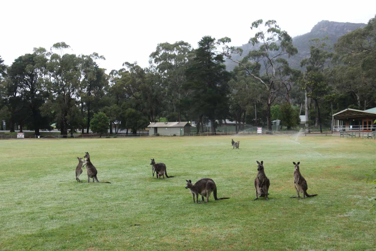 When I returned to the Halls Gap Recreational Oval, this large group of kangaroos was still grazing in the grass