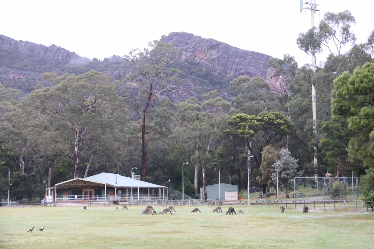 There were lots of kangaroos grazing on the Halls Gap Recreation Oval on the way to Clematis Falls