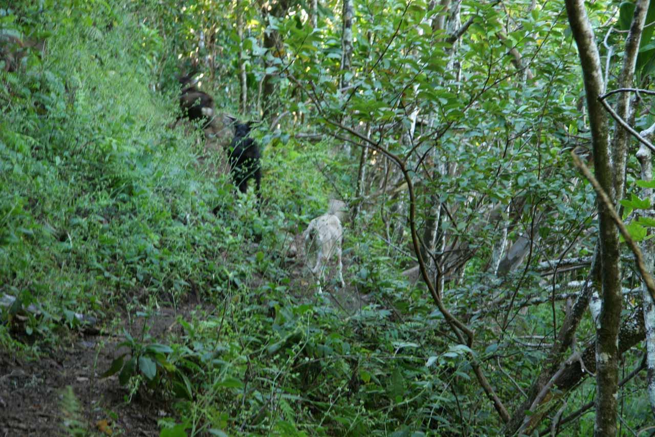 We encountered mountain goats