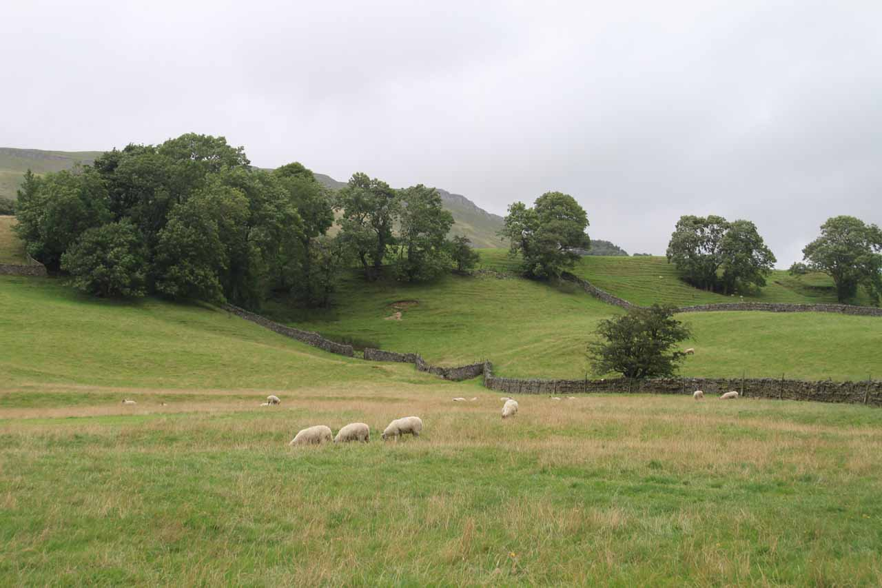 The Simonstone Footpath cut through sheep farming pastures like this