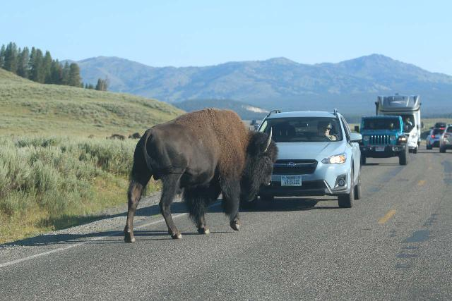 You never know if wildlife like this bison might be in a bad mood and decide to ram a vehicle