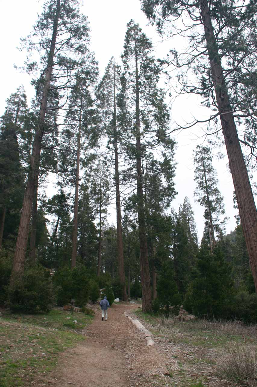 Tall pine trees along the trail