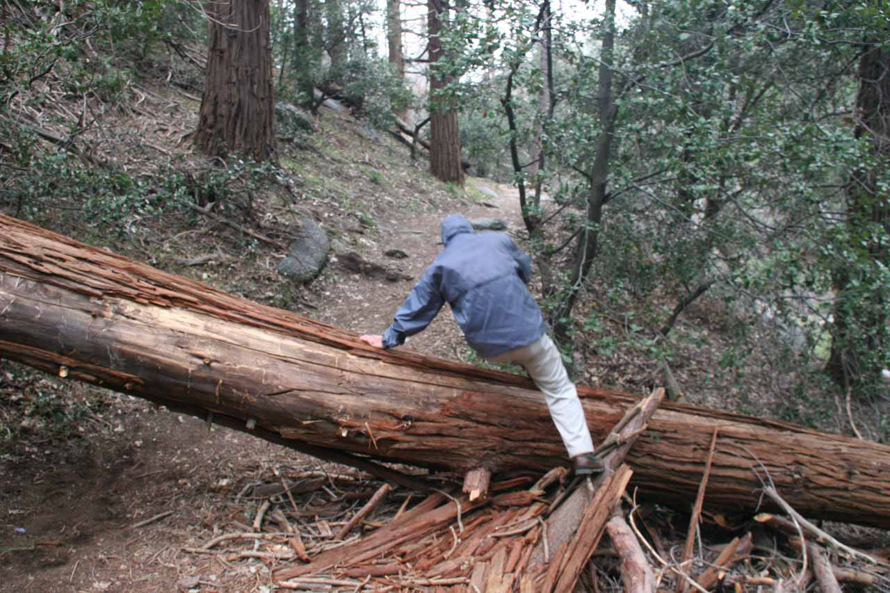 Dad going over a fallen tree