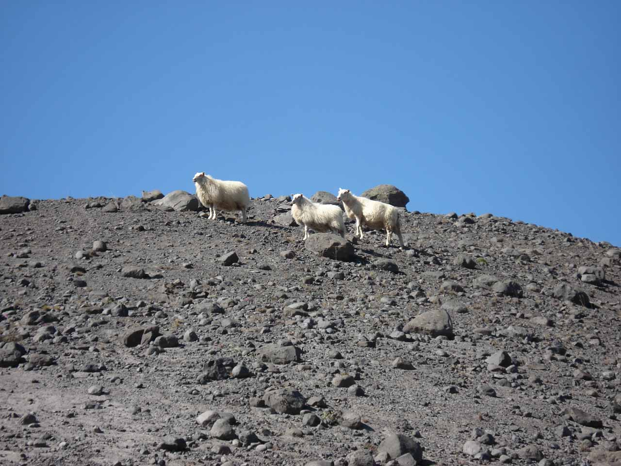 We noticed this trio of sheep looking for grass to graze along the trail