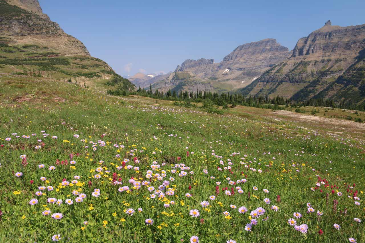 Another one of the big rewards of the Hidden Lake Trail was seeing vast fields of blooming wildflowers, including this set fronting the Garden Wall west of Logan Pass