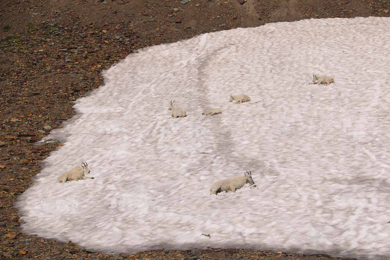 At the top of the climb of the Hidden Lake Trail, the trail started to finally flatten out and that was when we noticed these mountain goats blending in well with this patch of snow