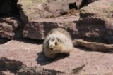 Hidden_Lake_158_08062017 - Some kind of marmot that was aggressively looking for human food at the Hidden Lake Overlook
