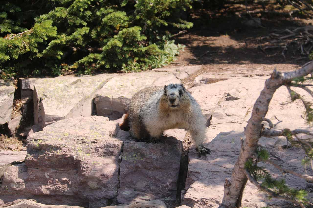 Some of the wildlife around the Hidden Lake Overlook appeared to have acclimated to human food and so they were quite fearless in trying to sneak away with something more high energy than what they're used to