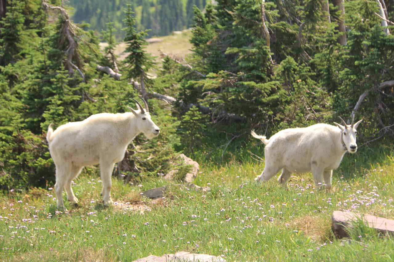 On the return hike, the mountain goats started to move around