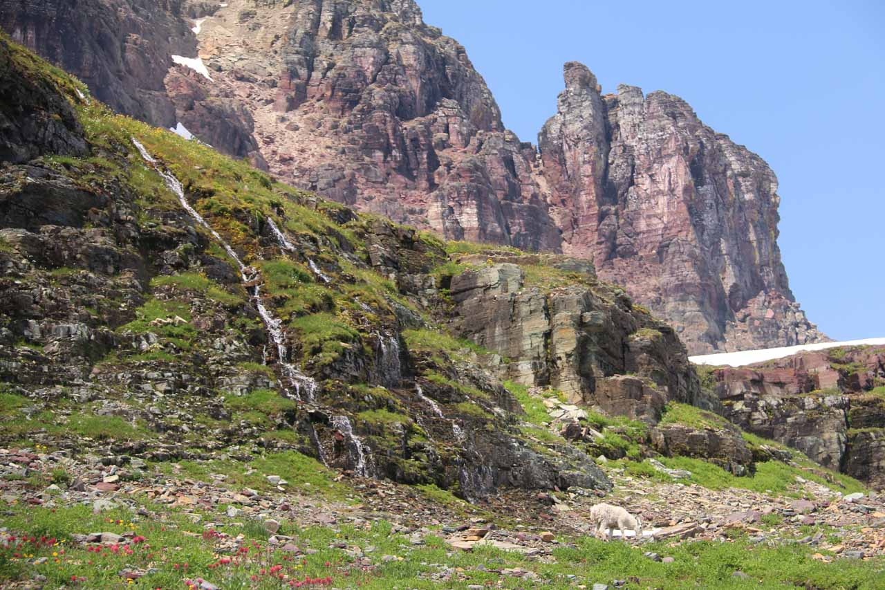 A pair of the Hidden Lake Cascades with a mountain goat grazing at the base