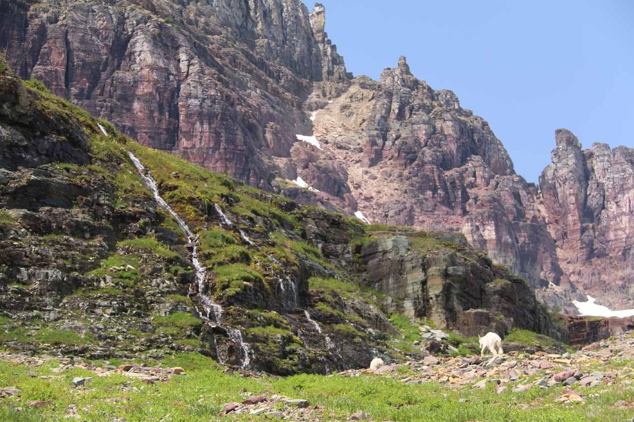 Some of the mountain goats started grazing in front of one of the 'Hidden Lake Cascades'