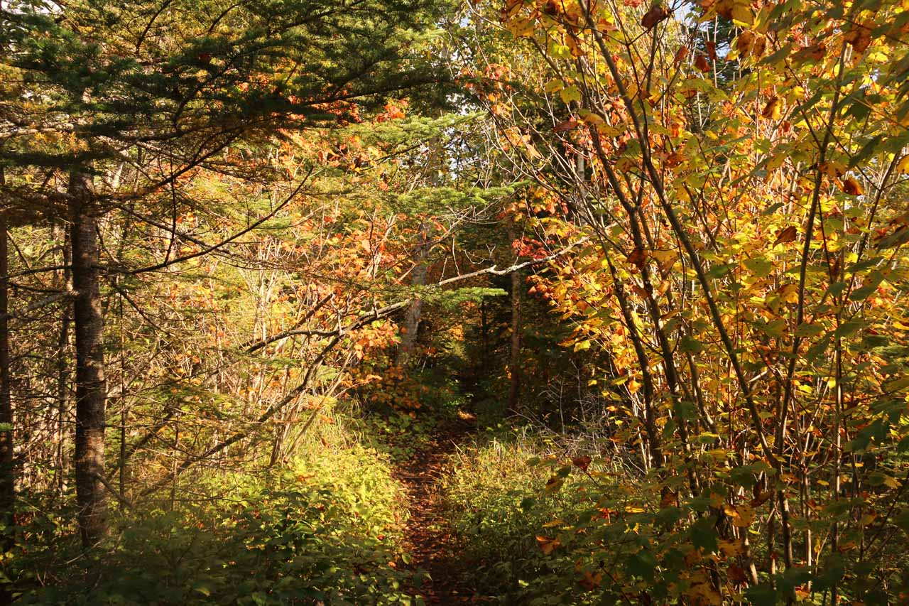 The trail then branched off of the boardwalk and went into this primitive path flanked by trees with leaves turning color