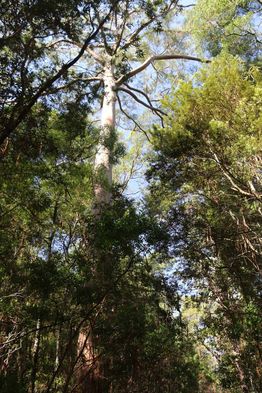 Looking up at one of the towering gum trees along the Hogarth Falls Walk