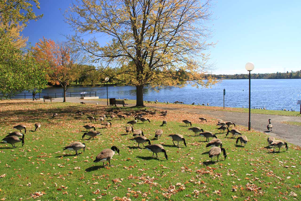 There were a lot of geese by the lake just upstream of the dam and lock at Hog's Back Falls