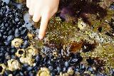 Hug_Pt_017_06232021 - Tahia touching the anemones to get them to close