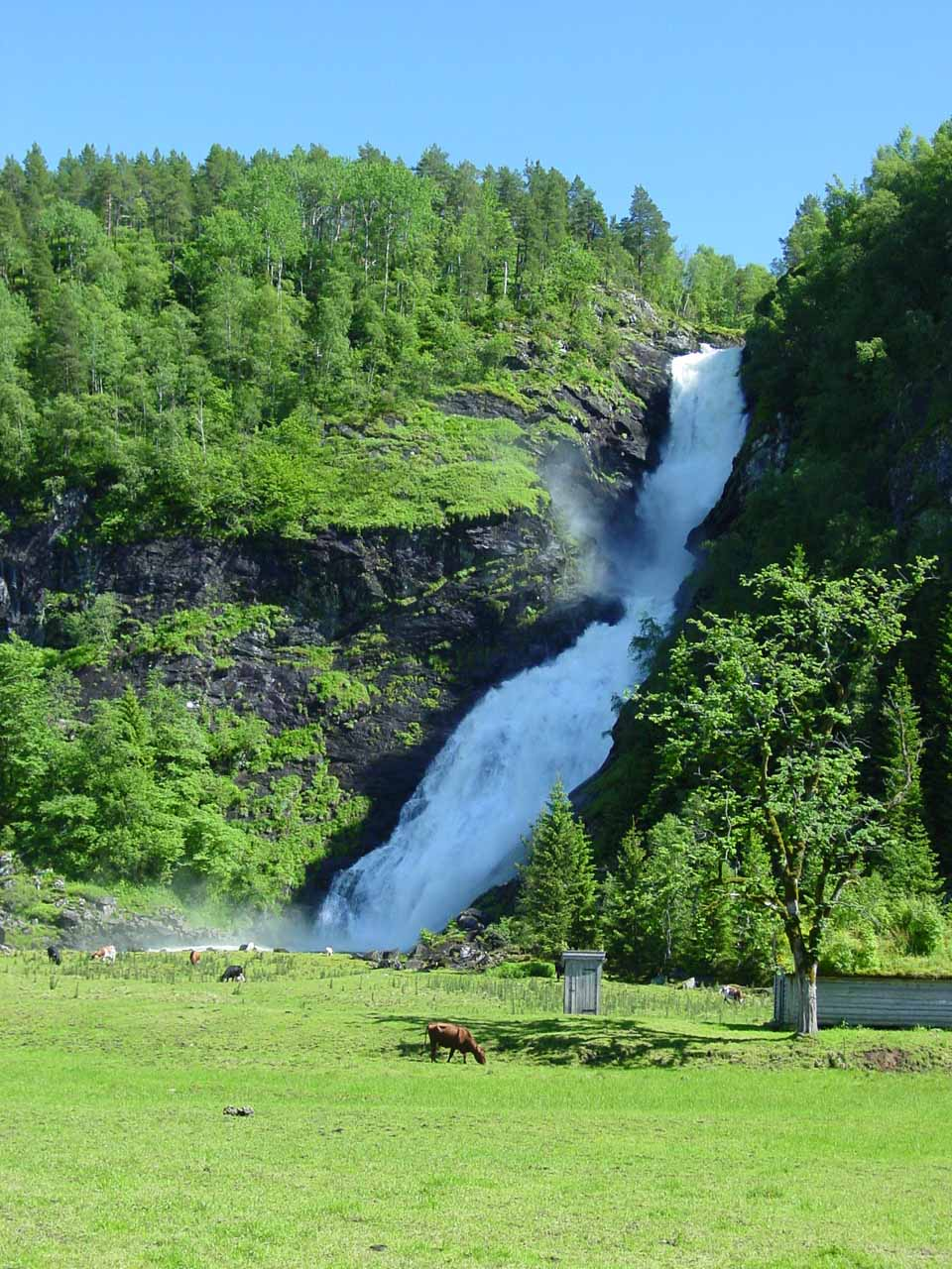 View of Huldrefossen with one of the cows grazing in the field before us