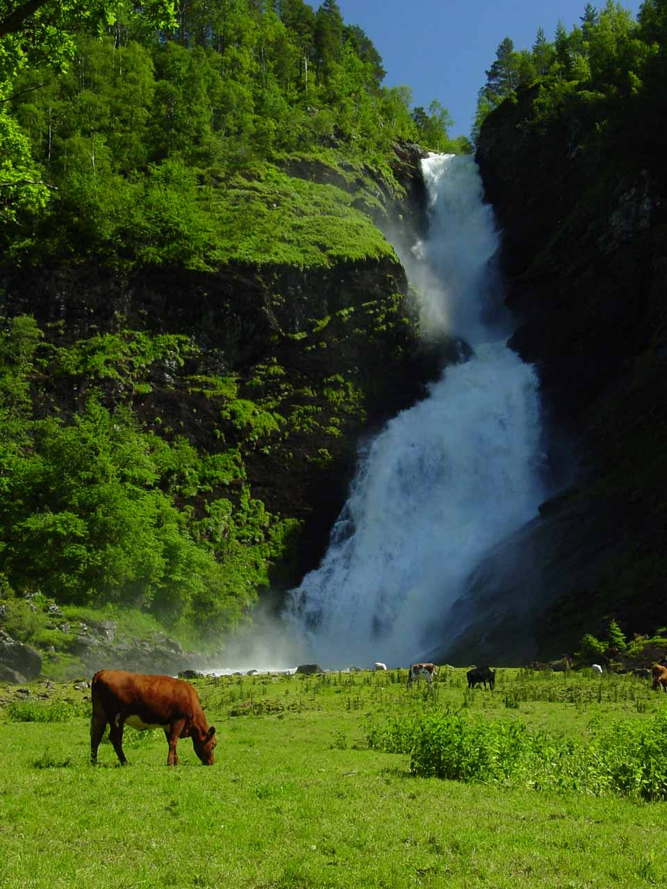 View of Huldrefossen with a cow grazing right in front of it