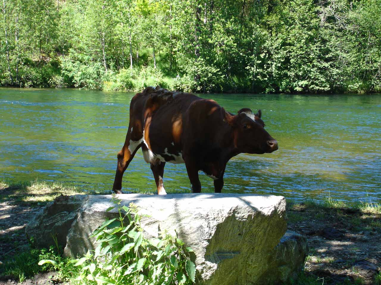 As we entered the agricultural field, there were many cows grazing in front of Huldrefossen, including this one chilling out by the river Jølstra