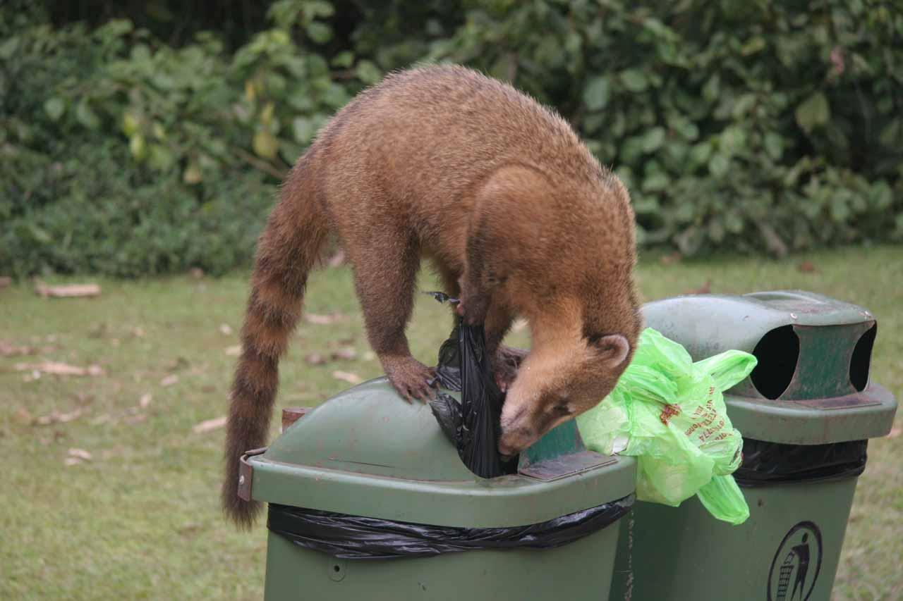 A coatie digging through trash