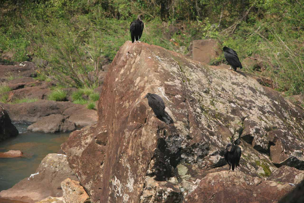 We noticed these big birds near Salto Escondido