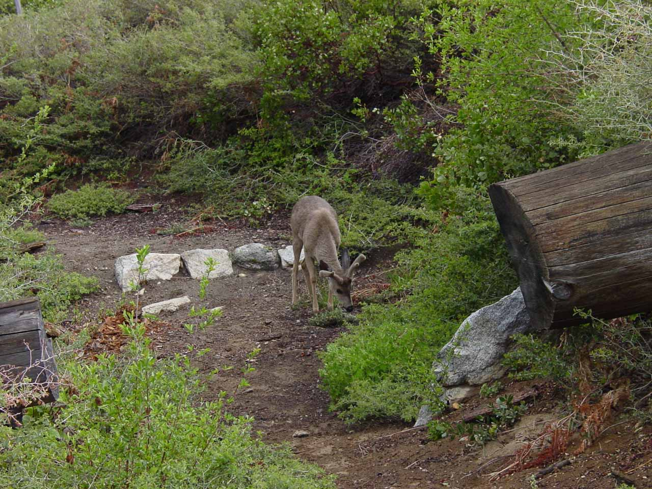 Deer at the trail junction near the start of the steep part of the descent