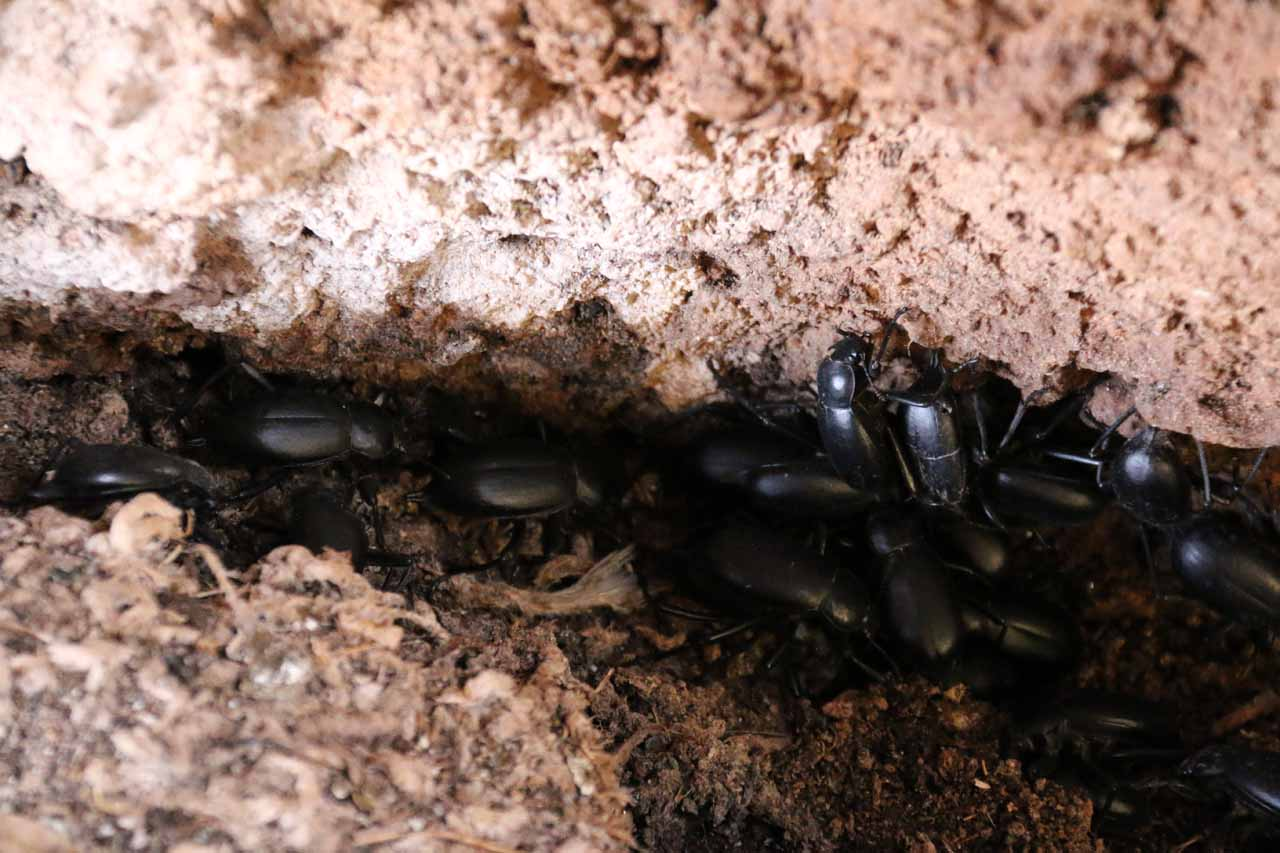 A lot of beetles in the cavernous Imi n'Ifri