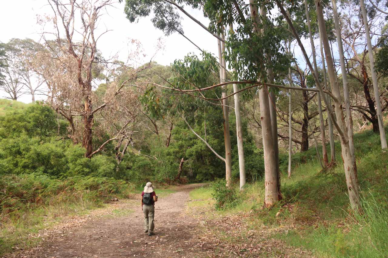 Shortly after the crossing of Waterfall Creek, the track meandered amongst some gum trees