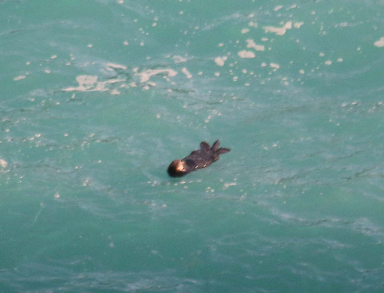 An unexpected surprise on our 2015 visit here was this sea otter (or sea lion?) doing a backstroke in McWay Cove