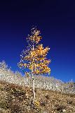 Judd_Falls_076_10162020 - Looking up at an interesting lone aspen tree contrasting well with the blue skies along the Judd Falls Trail