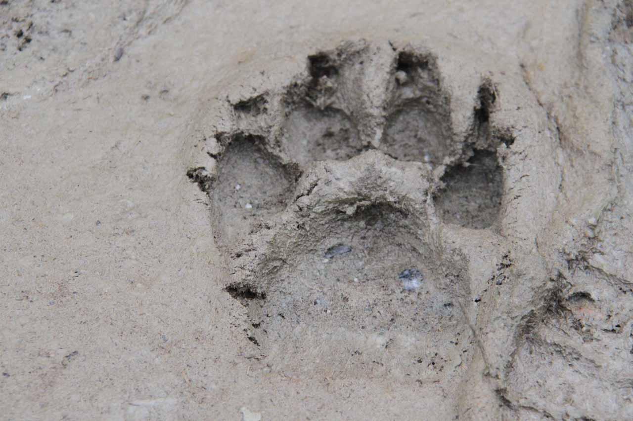 A bear paw print